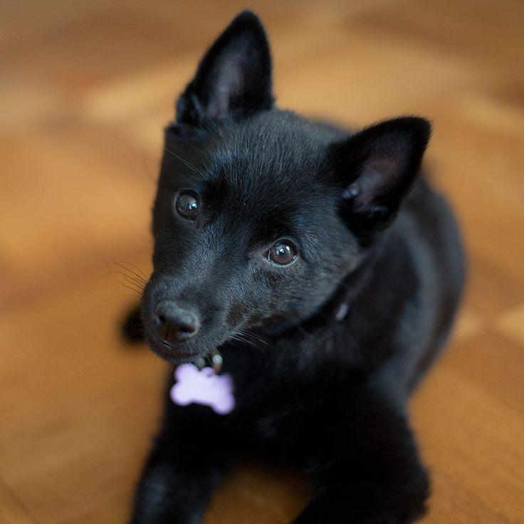 Schipperke Puppy Dog They Look Like My Murphy Murphy