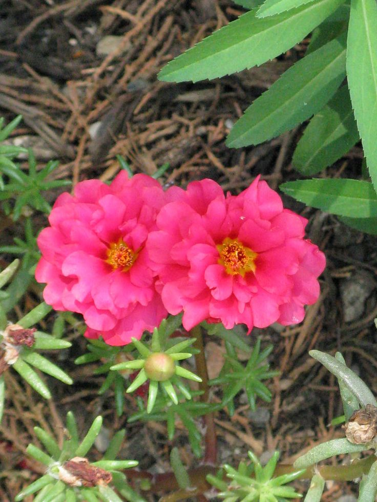 23 Best Portulaca Images On Pinterest