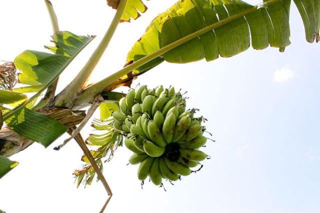 7/14(木)ウブドのお天気は晴れ。室内温度27.4℃、湿度75%。たわわになったバナナの木!これはピサンマニスかな??バナナにも沢山の品種があるんですよ!