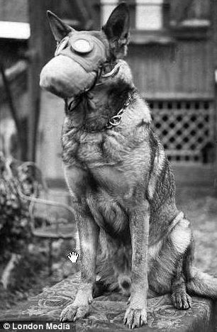 Photographs reveal how canines were fitted with gas marks during World War Two.