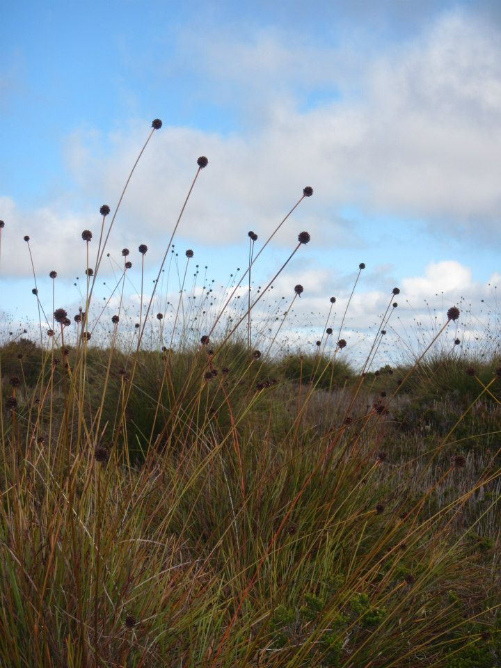 Buttongrass on the Overland Track