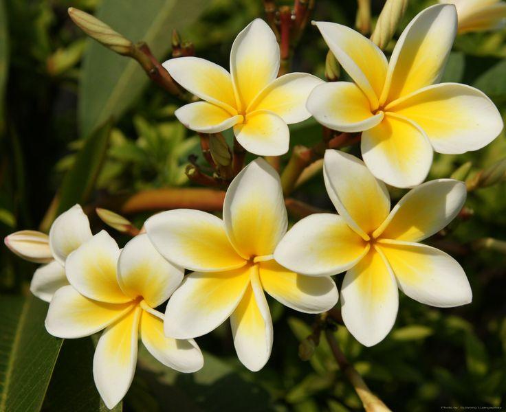 Frangipani, Plumeria is the national flawer of indonesia.