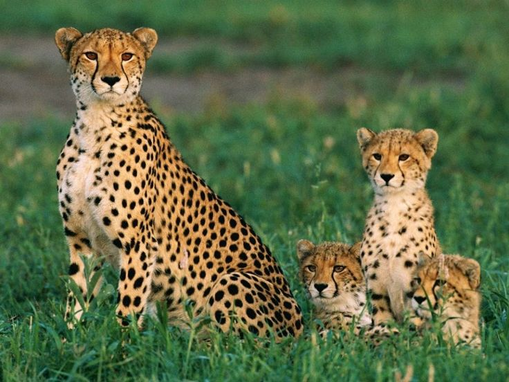 Cheetah Mother and Cubs (Photograph by Chris Johns)  Cheetah mothers typically give birth to a litter of three cubs, all of which will stay with her for one and a half to two years before venturing off on their own. When interacting with her cubs, cheetah mothers purr, just like domestic cats.
