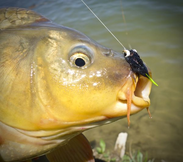 17 best images about flies on pinterest the fly nymphs for Carp fly fishing