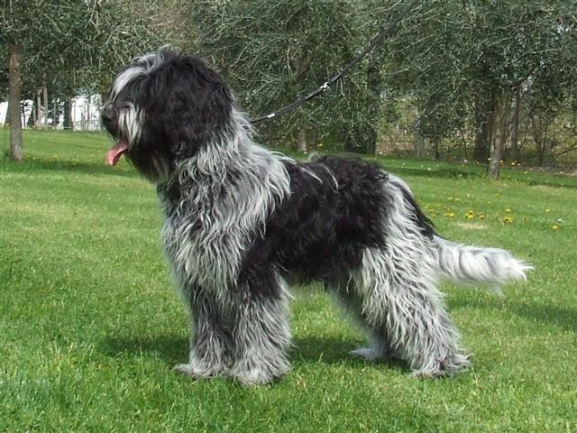 'De Schapendoes is een geweldige familiehond': De jonge Ezrah.