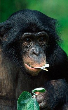 Bonobo apes are sociable self-domesticated creatures from Africa.