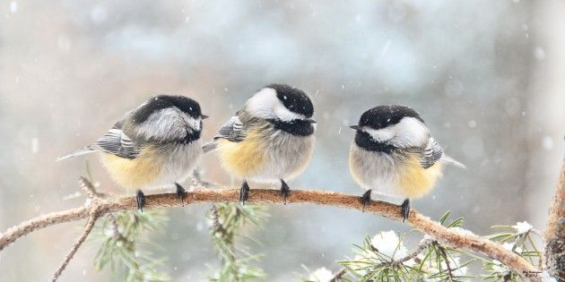 3-chickadees-on-a-branch