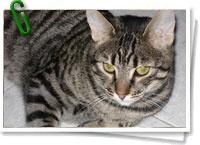 Los gatos domésticos lucen en su pelaje unos patrones de coloración que comparten también con sus parientes salvajes alrededor del mundo, desde los guepardos a los tigres o los leopardos de las nieves. Una nueva investigación se ha preguntado cómo estos felinos con comportamientos y habitats tan distintos pueden tener en común algunas manchas o rayas sobre la piel, mientras que otras parecen les distinguen por completo. + info: www.barrameda.com.ar/dp/