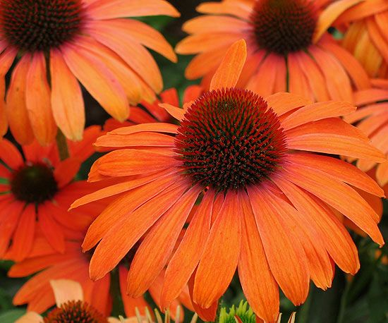Echinacea 'Julia'.  This site has other good new varieties of perennials too.