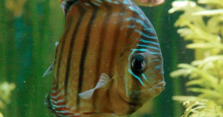 Acará-disco vive em igarapés e é territorial no período de procriação