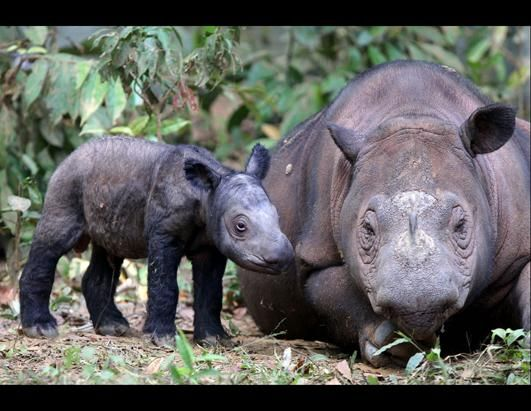 Mama and baby rhino in Indonesia.