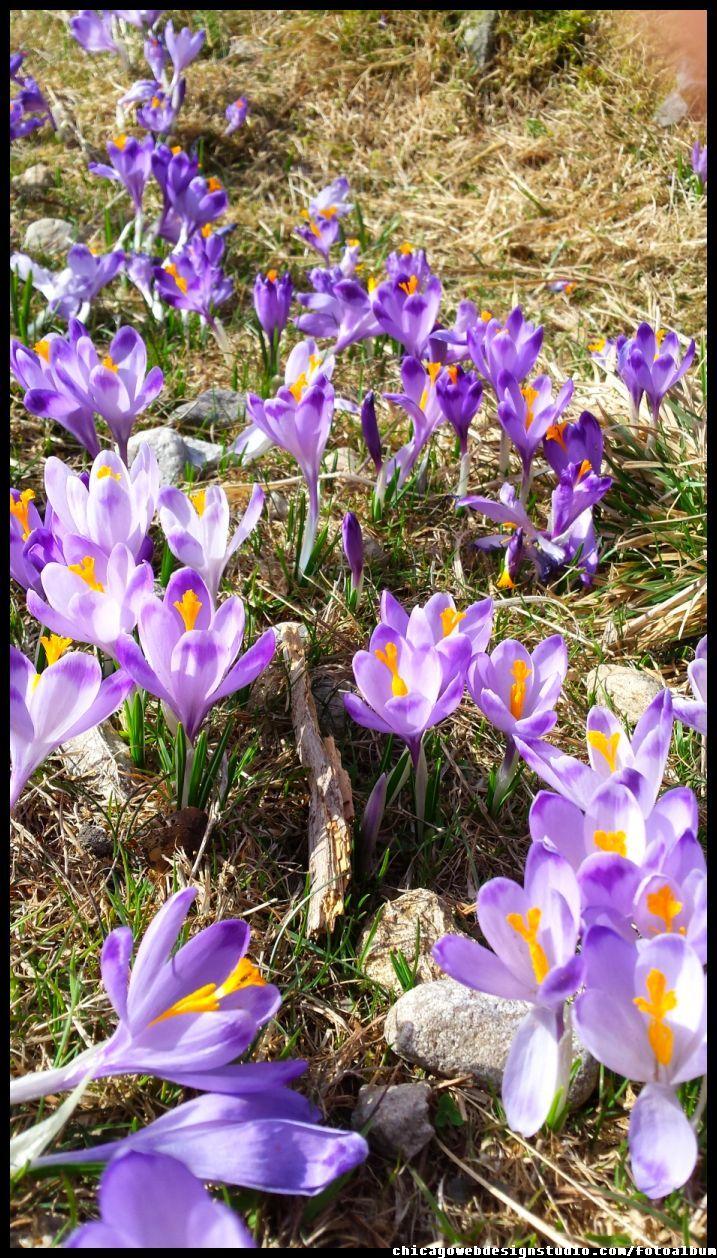 krokusy - crocuses - Tatry - Chocholowska Tatra Mountains, Poland, crocuses, Zakopane, National Park, spring, wiosna , góry, kwiaty , flowers #Tatry #Tatra #Mountains #Poland #Polska #krokusy #crocuses #krokus #wiosna #spring #krajobrazy #góry #flower #kwiaty #flowers #Zakopane #Dolina #Chochołowska #landscape #photography