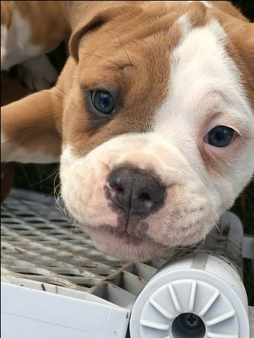 Litter of 9 Olde English Bulldogge puppies for sale in CANYON LAKE, TX. ADN-27230 on PuppyFinder.com Gender: Female. Age: 14 Weeks Old