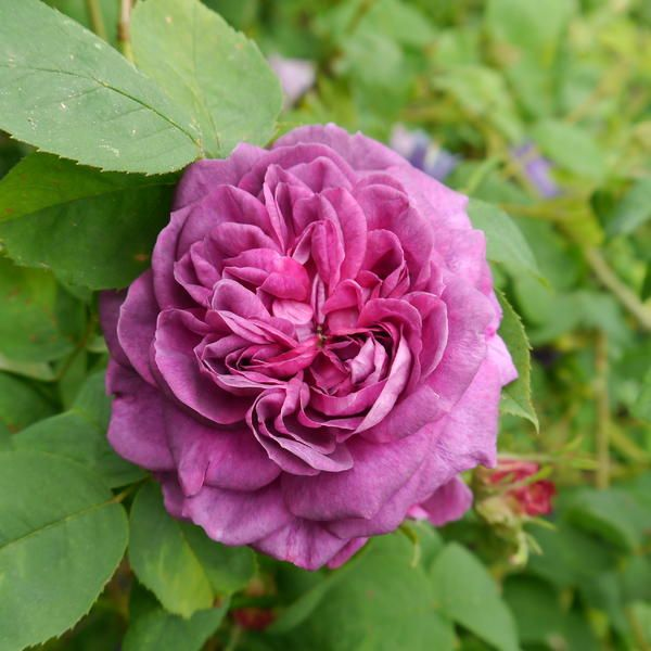 41 Best Roses - Lilac Images On Pinterest