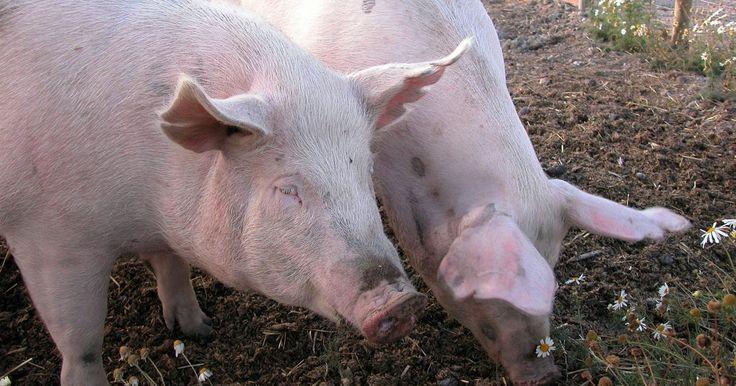 Como cruzar suínos depois que a porca parir. Você possui muitas opções diferentes para criar porcos, tudo depende do caminho que você gostaria de seguir. Como o mercado da carne de porco tornou-se industrializado, muitos fazendeiros mudaram para a produção do tipo confinamento, onde os suínos são mantidos em espaços pequenos pela maior parte do tempo de suas vidas. As porcas nessas fazendas ...