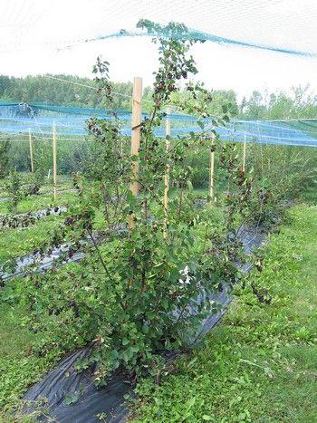 Amelanchier alnifolia 'Martin', bärhäggmispel/saskatoon. Härdig stor buske med söta blåa bär i augusti. Vacker under alla årstider: Höjd: 2-4 m.