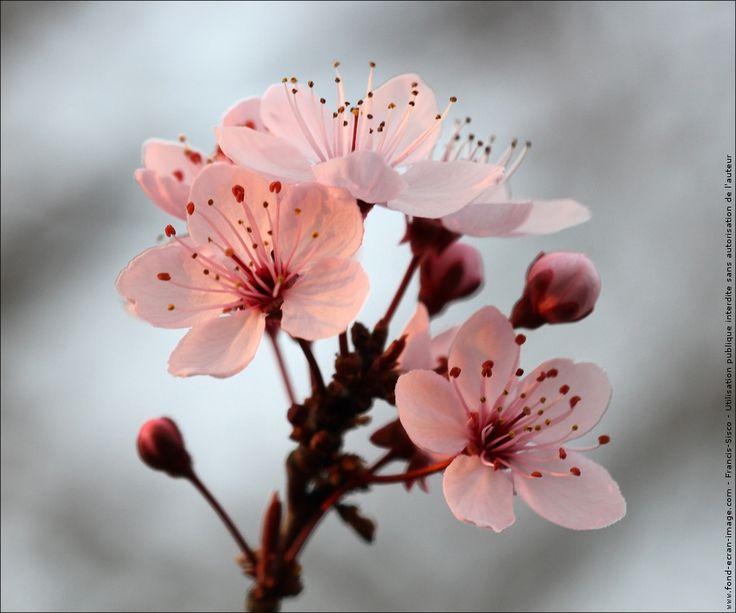 Fleur cerisier du japon fleurs cerisiers du japon img 0181