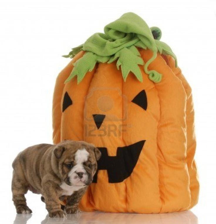 17 Best Images About Pumpkin Pup On Pinterest