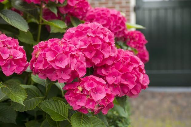 Hortensja ogrodowa: uprawa. Wszystko o hortensji ogrodowej: cięcie i pielęgnacja. Dlaczego hortensja nie kwitnie, gdzie posadzić hortensje w ogrodzie. Skala barw kwiatów hortensji jest bogata: od białej przez odcienie różu, czerwieni aż do niebieskiej i fioletowej.