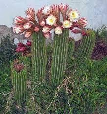 Resultado de imagem para flor de mandacaru