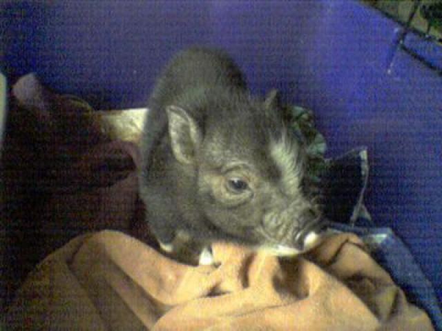 How Big Do Pot Bellied Pigs Get?: Jezabelle - Pot-Bellied Pig