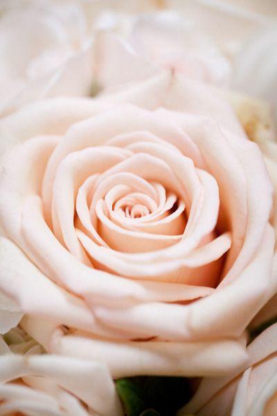 Breathtaking blush rose