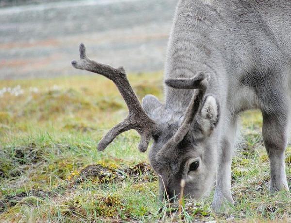 The Reindeer Superpower: Ultraviolet Vision…..