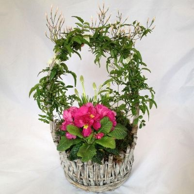 Planted basket of Spring plants and bulbs with Jasmine flowers intertwined around the handle.  Part of Mothers Day 2016 Collection.