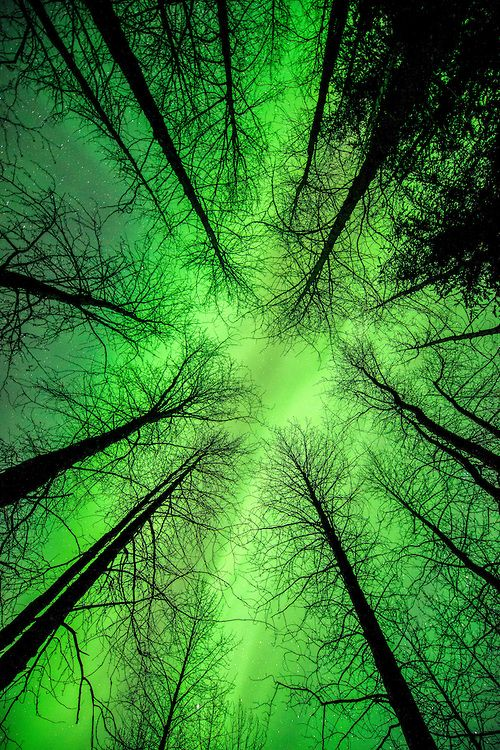 """They're Here"" -a view of a winding green band of aurora some leafless birch trees in Portage Valley of the Chugach National Forest in Alaska."