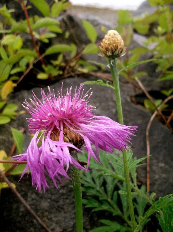 ~Shannon Brockhurst 2013 Sechelt, Sunshine Coast, BC Canada purple flower
