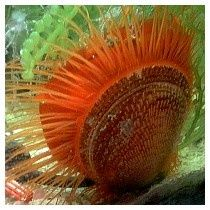 The Flame Scallop has a Hard Shell and Flowing Red Whiskers.