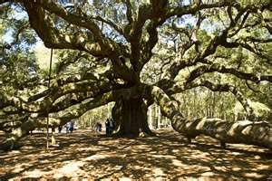 Angel Oak Tree, Johns Island, SC - One of the most amazing things I've ever seen.  Largest living oak tree east of the Mississippi.  Believed to be in excess of 1500 years old, 65 feet tall, providing 17,000 square feet of shade, with the circumference of its largest limb being 11.25 feet and 89 feet long.  Wow!