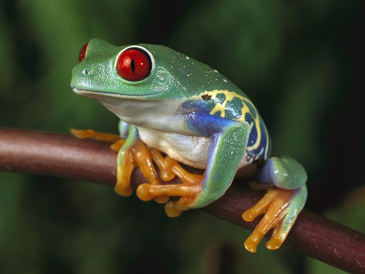 Poisonous Frog Lick a #frog #drugs #High #SUPERHIGH