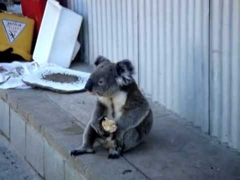 Sad Koala eats an apple, looks back on his life
