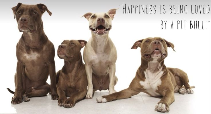 Four pit pulls with the text happiness is being loved by a pit bull