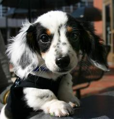 Dachshund long hair. piebald dogs. See More. 81. 8. Jack: nothing interesting to say other than i was looking up cute pics of puppies