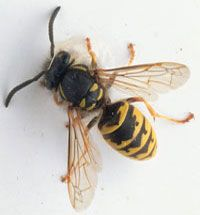 how to keep wasps out of house