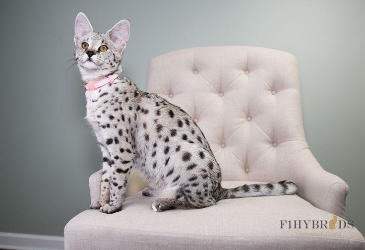 Madeline - 59% F1 Savannah Cat