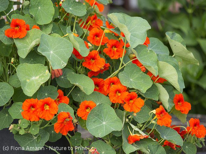 Warum in jedem Topfgarten eine Kapuzinerkresse im Kübel wachsen sollte. Tipps zur Aussaat, Pflege und zur Verwendung der vielseitigen Kapuzinerkresse.