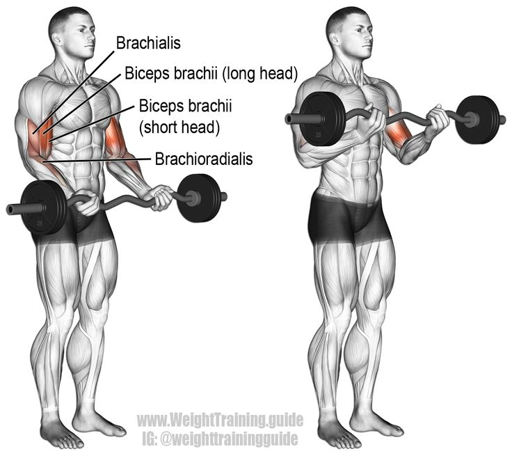 Barbell Curl Anatomy: EZ Bar Curl. An Isolation Pull Exercise. Muscles Worked