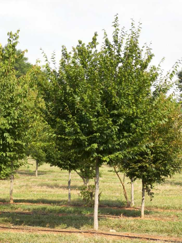 american hornbeam Lone Oak Tree Farm - Catalog