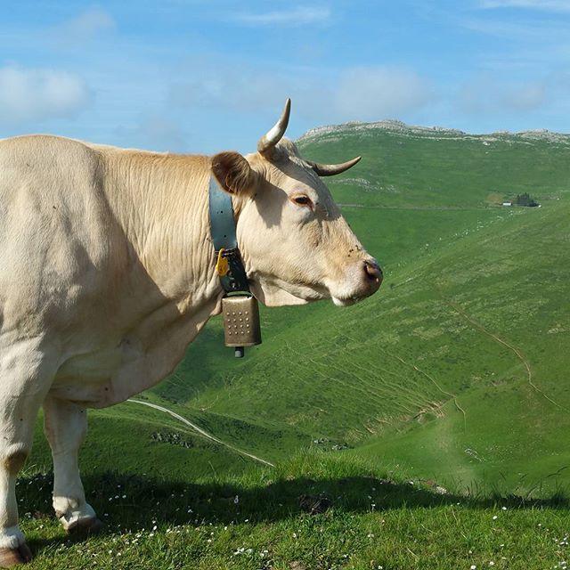#behia #vache #blondedaquitaine #estive #cow #vaca #randonnée #rando #instarando #animal #instanimal #paysbasque #igerseuskadi #euskalherria #basquecountry #cute #montagnebasque #montagne #bortua #mendia