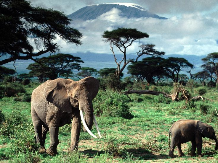 Animals Elephants African Baby Elephant Mount Kilimanjaro Baby Animals Fresh New Hd