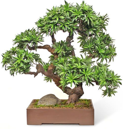Podocarpus Bonsai - Mall Silks