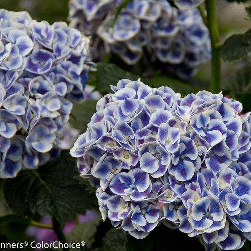 Cityline® Mars hydrangea in blue. Like most big-leaf hydrangeas, the flowers may be pink or blue depending on the soil. Cityline Mars will always have the pretty white margin that makes this two-toned flower so unique: http://emfl.us/15Hd