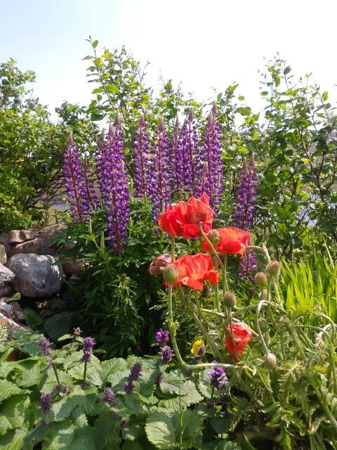 Shetland Lupins and Poppies.