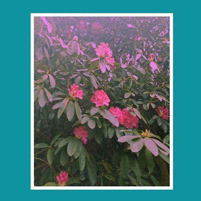I feel like this doesn't go with my theme at all but I really don't care.  #flowerstagram #pink #green #garden #gardener #aesthetic #spring #tasmania #hobart #girls #teen