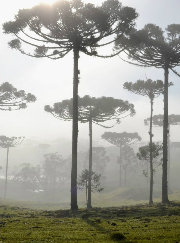 """ Field of araucaria pine trees  in morning fog """
