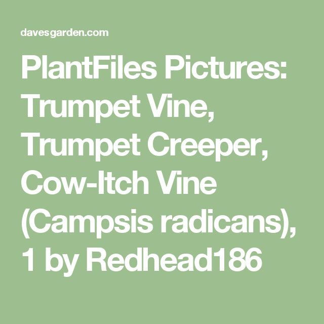 PlantFiles Pictures: Trumpet Vine, Trumpet Creeper, Cow-Itch Vine (Campsis radicans), 1 by Redhead186