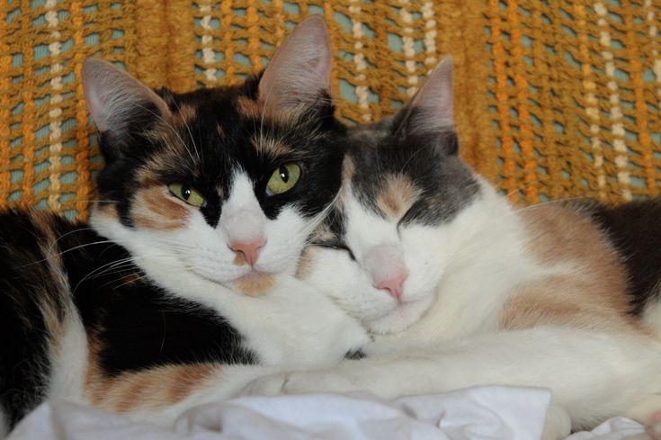 Description Calico and dilute calico cats.JPG #Behaviour - More about Cat Behaviour at Catsincare.com!